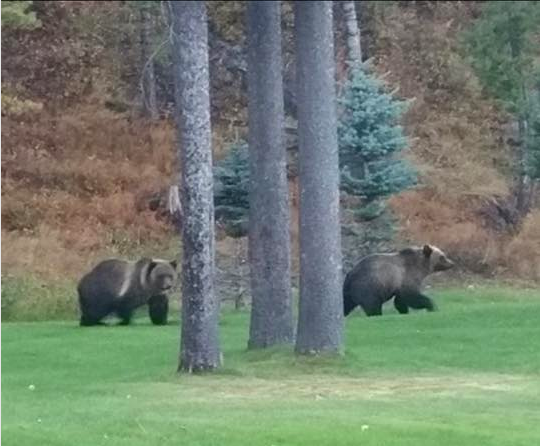 Fernie Grizzly bears