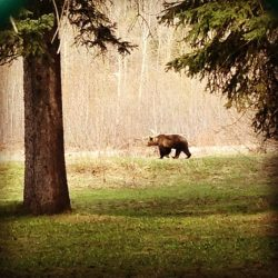 Grizzly Shot in Fernie area