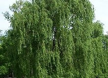 Fernie Spring Willow