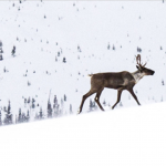 Mountain Caribou habitat needs protection