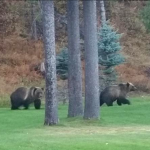 Grizzly Bears at Home