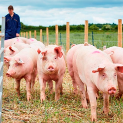 Interested to get into pork production?