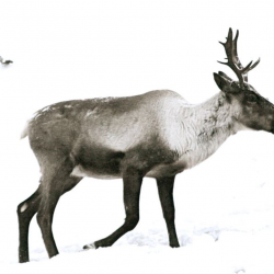 Caribou Recovery Initiatives Announced