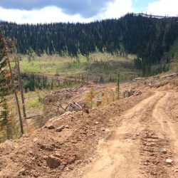 Logging endangers whitebark pine in the Elk Valley