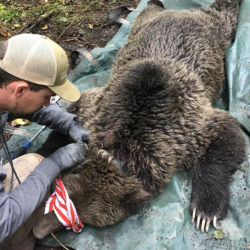 Grizzly Bears Killed by train